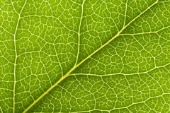 Leaf Vein Stock Photo