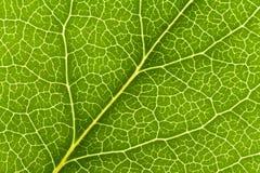 Leaf Vein. Green Leaf Vein close up shot for background stock image