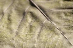 Leaf vein Royalty Free Stock Photo