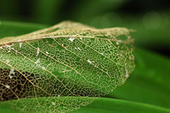 Leaf vein Royalty Free Stock Photography