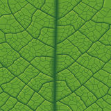 Leaf Vein Stock Images