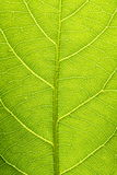 Leaf vein Royalty Free Stock Photos