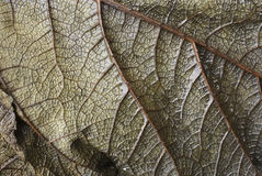 Leaf vein abstract Royalty Free Stock Image