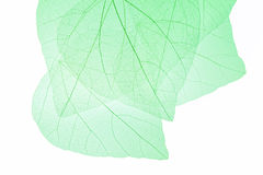 Leaf vein background Royalty Free Stock Image