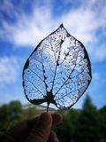 The leaf vein with the blue sky Royalty Free Stock Photo