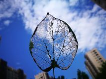 The leaf vein with the blue sky Stock Photo