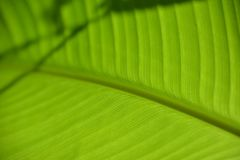 Leaf vein in detail with texture stock photos