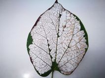 The leaf vein with the grey background