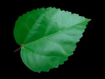 Leaf vein Royalty Free Stock Photo