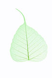 Leaf vein isolated Stock Photos