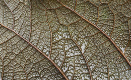 Leaf vein macro Stock Images