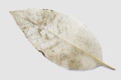 Leaf vein Stock Photography