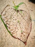The leaf vein with the wooden board Stock Photography