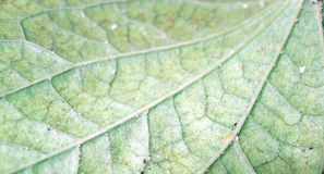 Leaf Veins. Underside of the leaf showing the veins Royalty Free Stock Photos