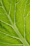Leaf veins. A macro view of green leaf,  with leaf veins, and beads of water Royalty Free Stock Photography