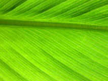 Leaf veins Stock Images