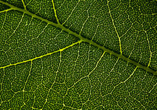 Leaf veins. Stock Image