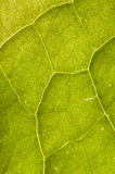 Leaf veins Royalty Free Stock Image