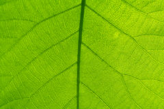Leaf Veins Stock Photos