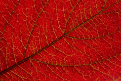 Leaf veins Royalty Free Stock Photos
