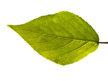 Leaf veins. Leaf with veins isolated on white background royalty free stock photo