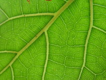 Leaf Veins. Close-up taken near a window. Available backlighting Stock Photos