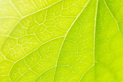 Leaf Veins close-up Sunlight Green Nature Royalty Free Stock Images