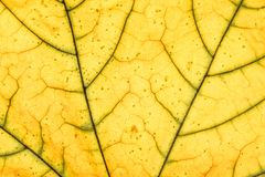 Leaf veins. Close up view of yellow leaf veins royalty free stock photography