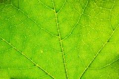 Leaf Veins Royalty Free Stock Image