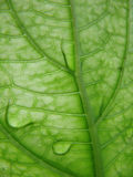 Leaf veins with dew drops. Macro shot of the underside part of a leaf with water drops Royalty Free Stock Image