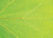 Leaf veins Royalty Free Stock Images