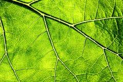 Leaf Veins Stock Image