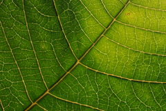 Leaf veins. Green leaf veins close up Stock Photos