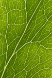 Leaf veins macro. Macro of veins of Hellebore leaf Stock Photo