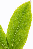 Leaf veins macro Stock Photography