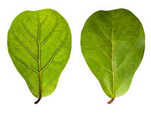 Leaf with veins and normal leaf Royalty Free Stock Photo