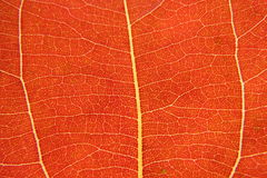 Leaf veins. Red veins of a leaf Stock Image