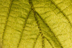Leaf veins stock photos