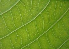 Leaf veins. Structure of leaf veins, leaf mango Stock Image