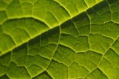 Leaf veins. Sun-highlighted leaf veins macro shot stock photo