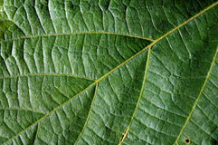 Leaf veins texture closeup Stock Photo