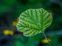 Leaf veins. A tree leaf showing its veins stock image