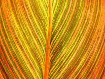 Leaf venation close-up Royalty Free Stock Photography