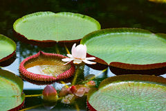 Leaf of Victoria amazonica Stock Photography