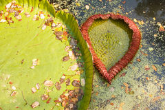 Leaf of victoria waterlily float on water.Resemble heart shape Royalty Free Stock Photo