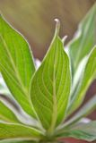 Leaf Viens. Green Leaf From Underneath Stock Image