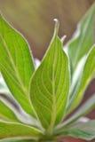 Leaf Viens Stock Image