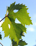 Leaf of vine Stock Photography