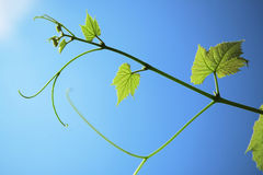 Leaf and vine Royalty Free Stock Photo