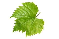 Leaf from the vine. Isolated on a white background Stock Photos